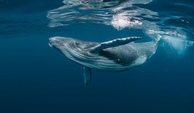 Grbavi kit