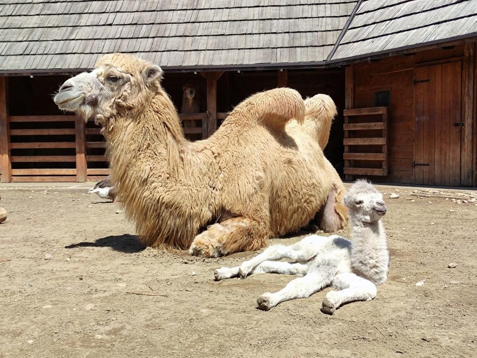 Usred 'Hrvatske Sahare' rođena je prva mala deva