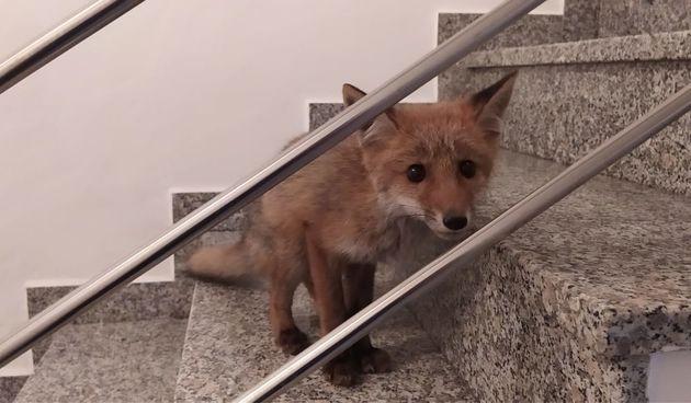 Lisica na Črnomercu
