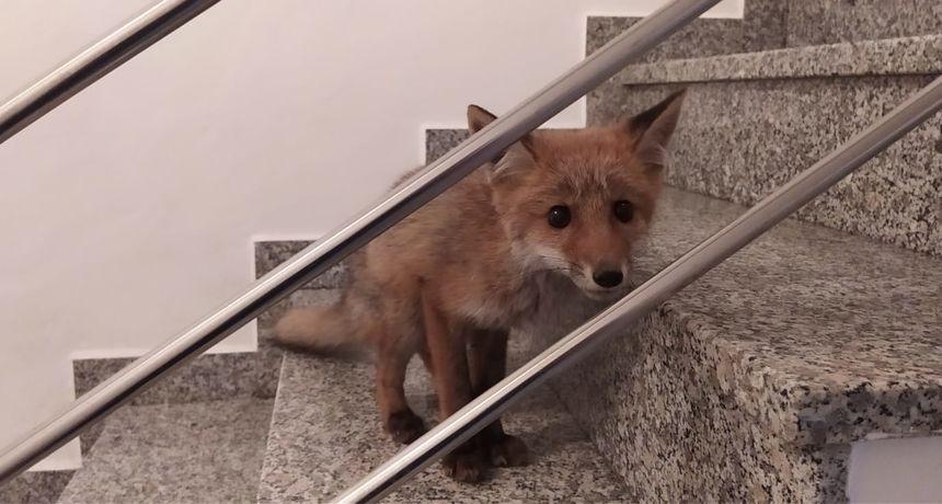 Stanare zgrade na zagrebačkom Črnomercu iznenadio je neobičan posjetitelj, životinjica je odvezena u Zoološki