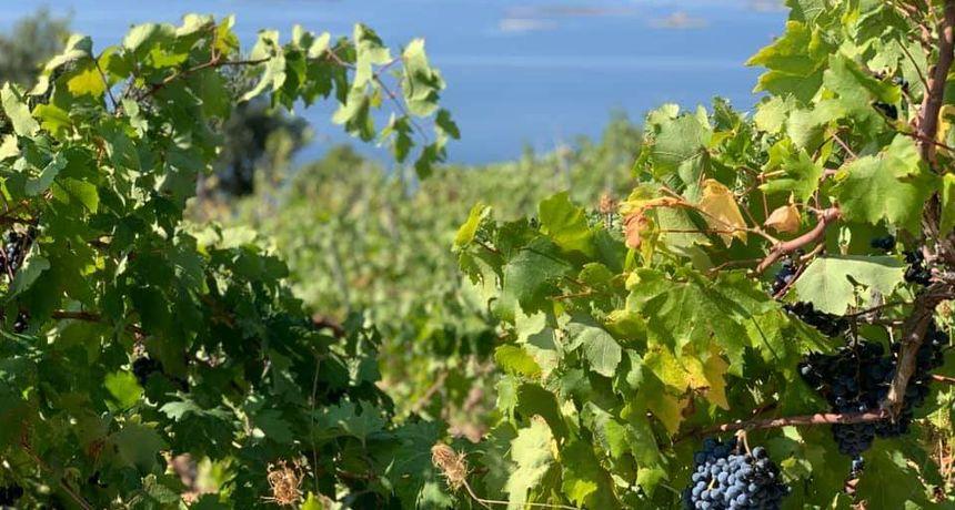Zadarski učenici beru grožđe u školskom vinogradu