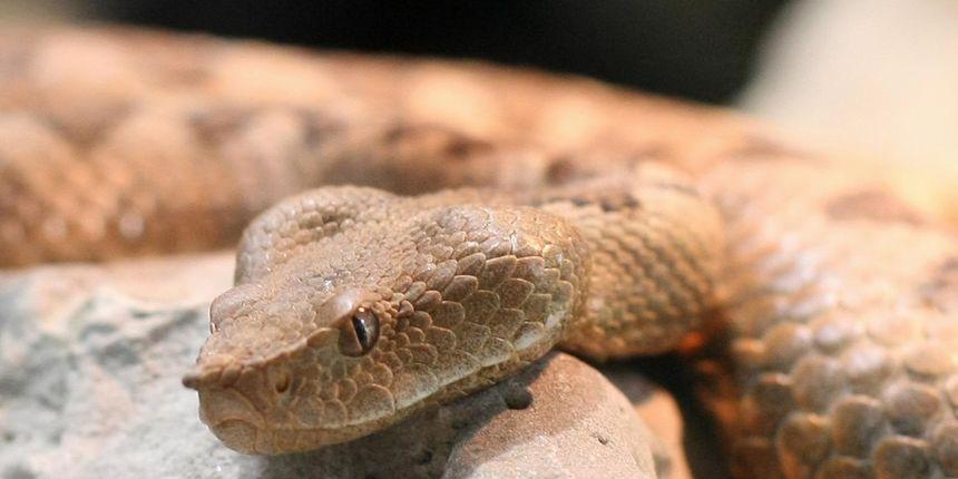 Sve što ste željeli znati o poskoku, a niste se usudili pitati: Evo kada je ova zmija najaktivnija i koja doza otrova vas može ubiti