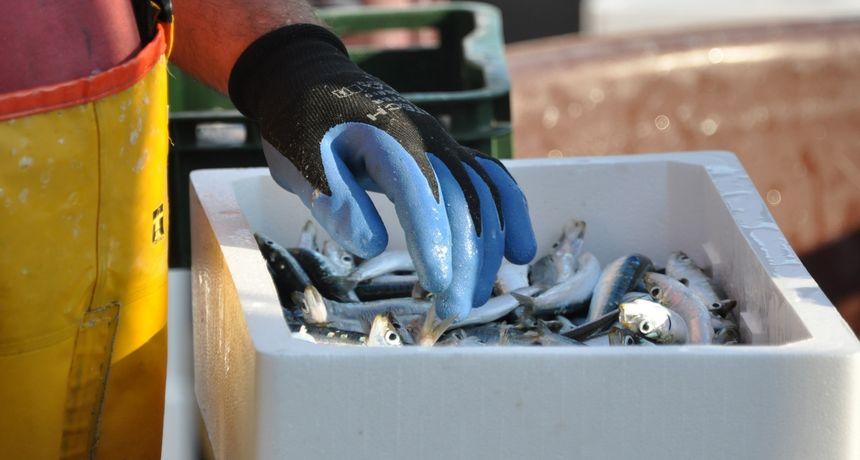 Pun mjesec stvara probleme ljubiteljima ribe: U Dalmaciji je lovostaj na bijelu, a plave ribe nema
