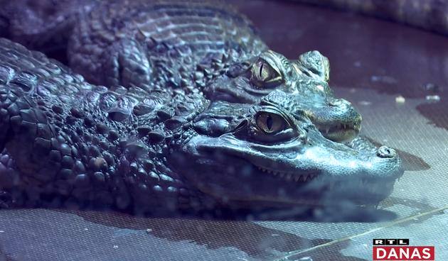 Mali krokodili nova su atrakcija u pulskom akvariju