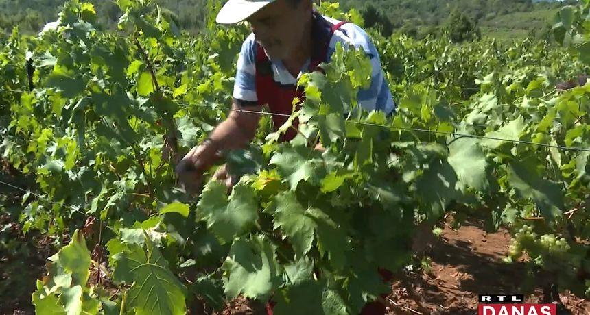 Dok se čeka da plavac mali dozrije, na Pelješcu se bere bijelo grožđe: U jematvi, odnosno berbi grožđa je bila i naša ekipa