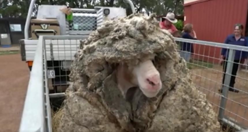 VIDEO POVIJESNOG ŠIŠANJA Jeste li znali kako izgleda ovca koja nije ošišana pet godina?