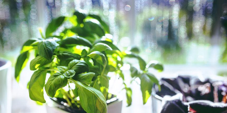 10 začinskih biljaka koje čuvaju zdravlje, a imamo ih u kuhinji