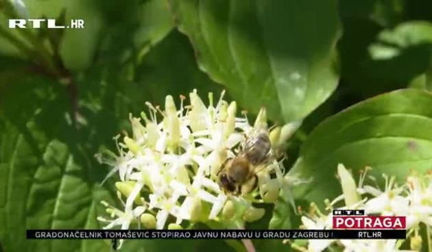 Početkom godine izgubili i do 70 posto pčela, sada su gladne pa ih hrane šećernim sirupima i pogačama: Što se događa s pčelama na istoku zemlje? (thumbnail)
