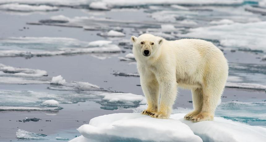 Ozbiljne posljedice klimatskih promjena: Mršava i gladna polarna medvjedica zalutala u grad