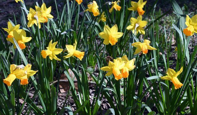 Narcis, narcisi