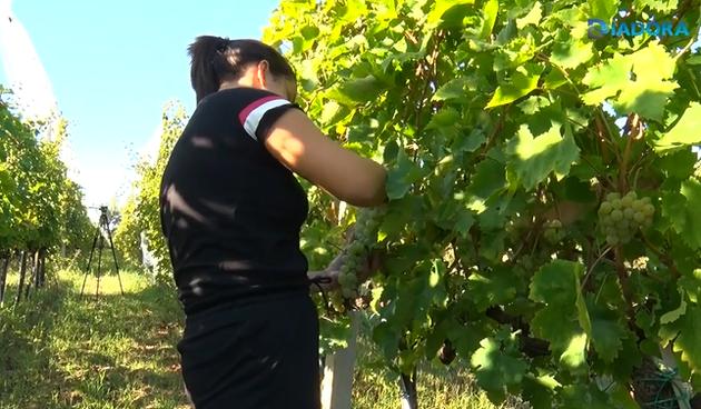 Baštica, vinograd, stanka ozanica