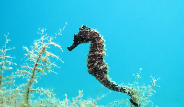 Morski konjic