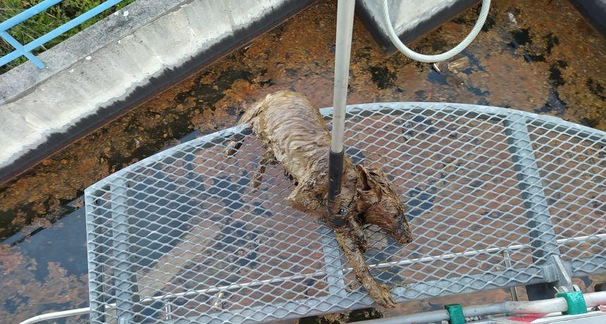 FOTO Spašena je lisica iz bazena s otpadnim uljem: 'Bila je izmučena i natopljena. Spašena je u zadnji tren'