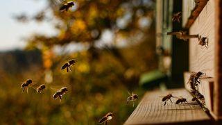 pčele, pčela, košnica
