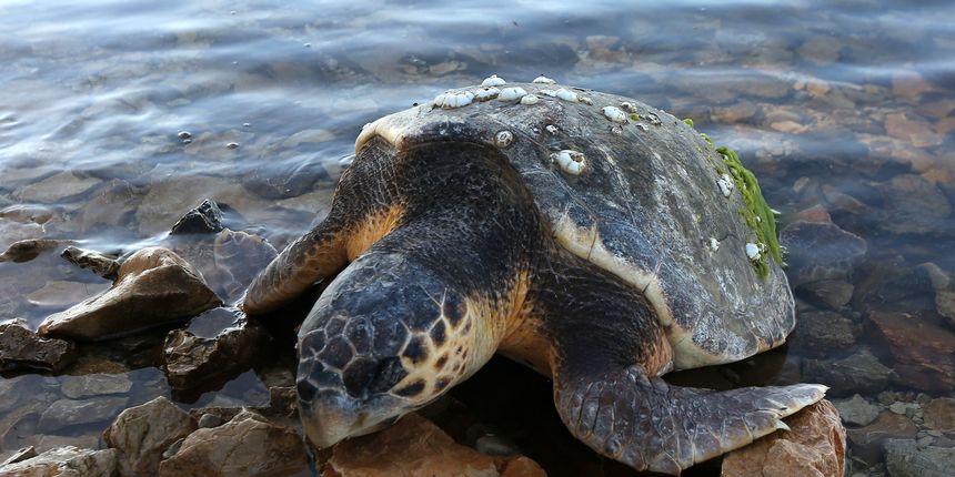 Pronađena uginula morska kornjača na Dugom otoku