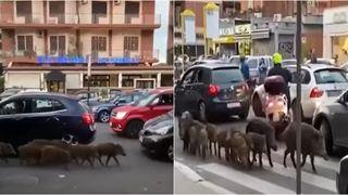 svinje rim šetnja