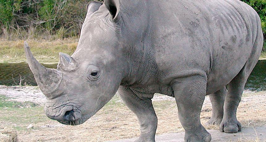Uginuo najstariji bijeli nosorog na svijetu