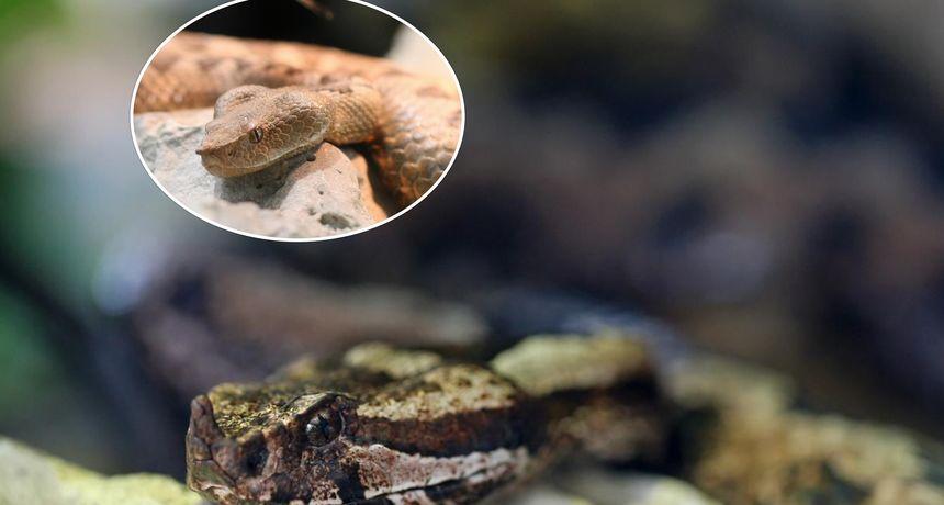 VIDEO Iz vlastitog dvorišta ne smiju maknuti najopasniju zmiju u Hrvatskoj koja vas može ubiti: Evo i zašto