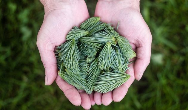 Bjelokori bor