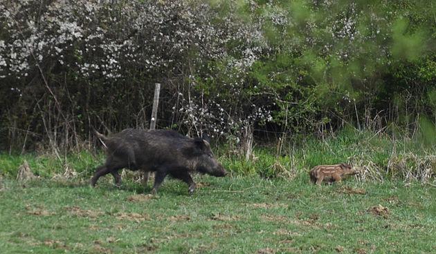 Na Pašmanu znaju kuda idu divlje svinje
