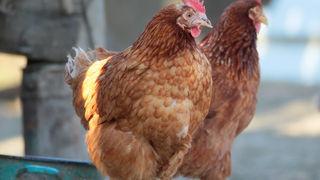 Pasmine kokoši  - znate li kako se dijele pasmine kokoši