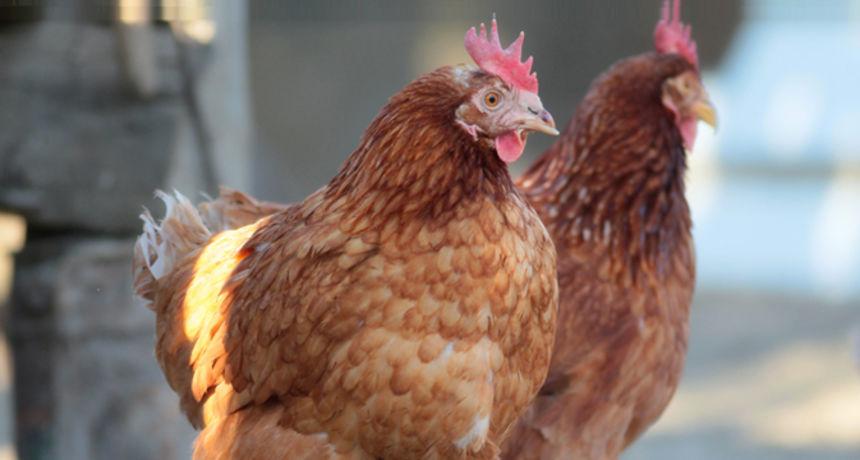 Policija dobila dojavu zbog jake buke u restoranu, a tamo ih dočekale - kokoši
