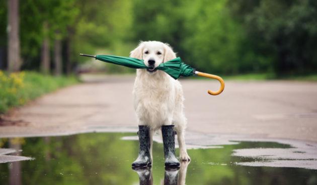 Pas, kiša, kišobran