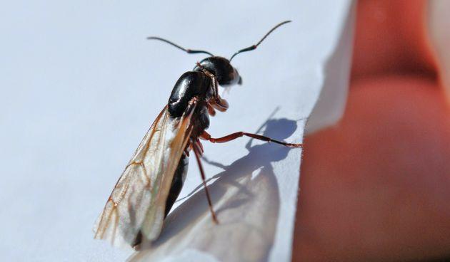 leteći mravi