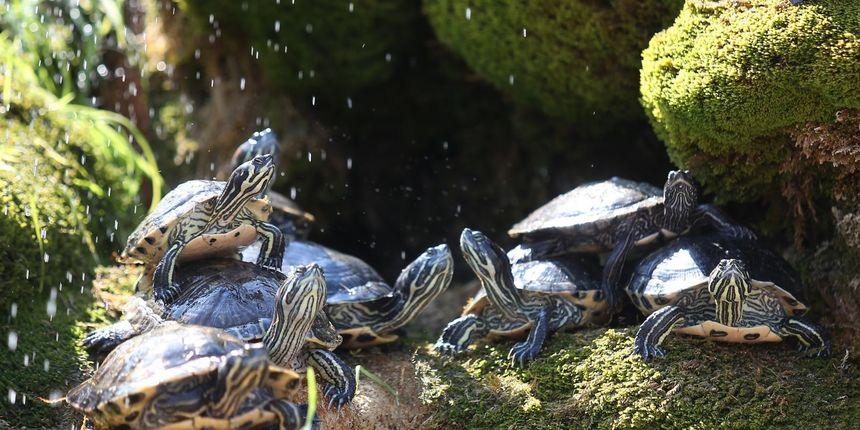 Zaustavili ga na autocesti i u automobilu pronašli 152 kornjače!