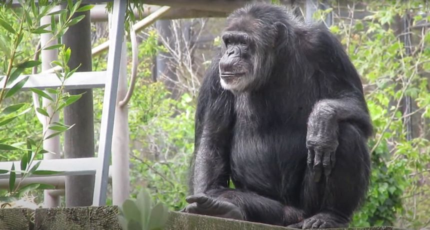 Uginuo četvrti najstariji poznati čimpanza svih vremena, u ZOO-u su shrvani: 'Slomljena su nam srca'