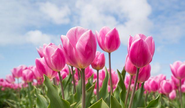 Vrtni tulipan: savjeti za uzgoj tulipana u vrtu