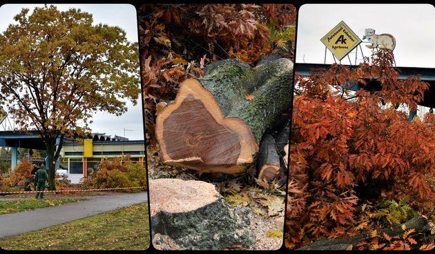 Masakr kod Autobusnog kolodvora! Pod pilama stradala tri zdrava crvena hrasta i jedna breza, građani zgroženi: Prizor je stravičan