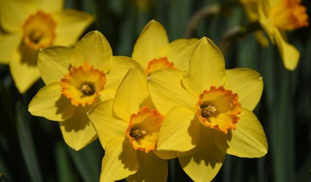 cvijet narcis