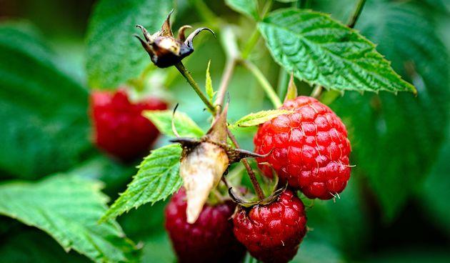 Prihrana maline preko lista: savjeti za dodatnu prihranu