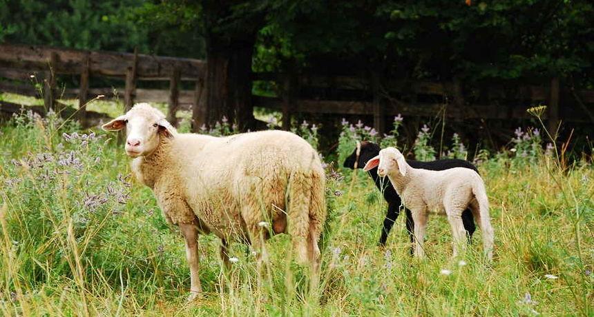 Tko je u Ozlju ukrao ovce? 47-godišnji farmer prijavio krađu ovaca, policija traži počinitelja