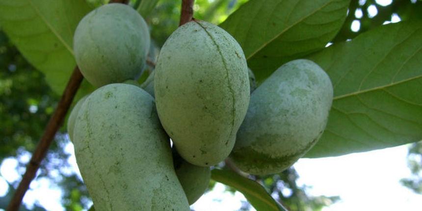 Indijanska banana razmnožavanje - otkrijte sve o uzgoju ukusne voćke