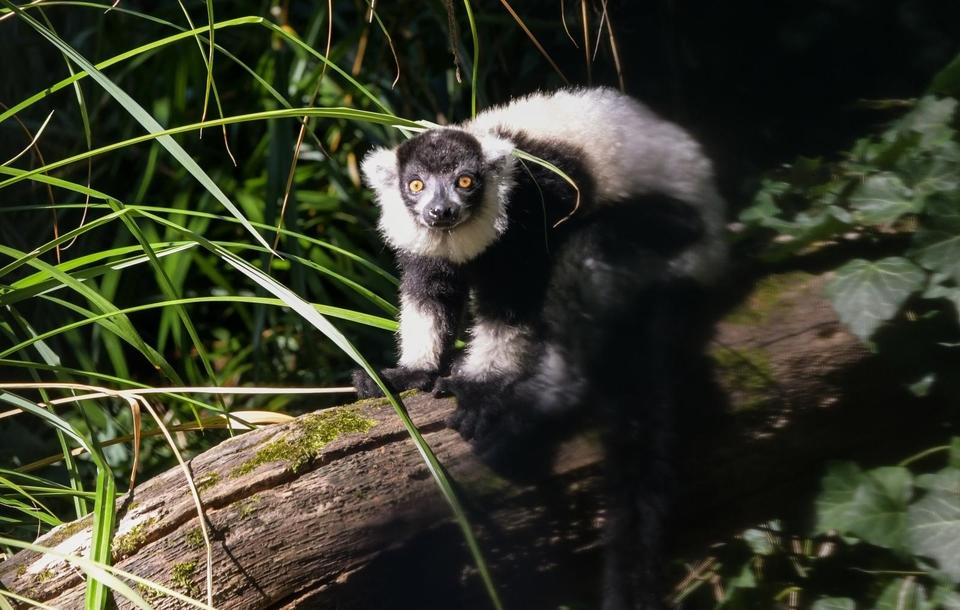 Čupavouhi lemuri u zagrebačkom ZOO