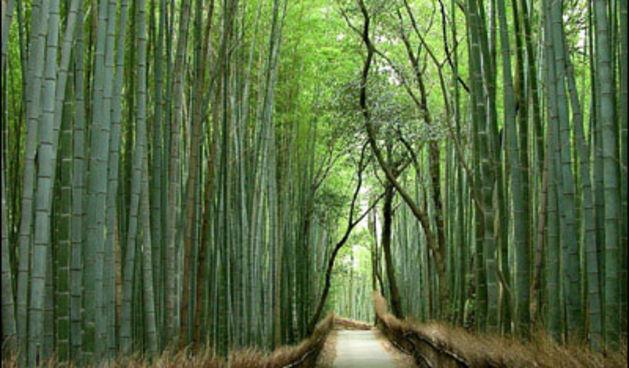 bambus_01