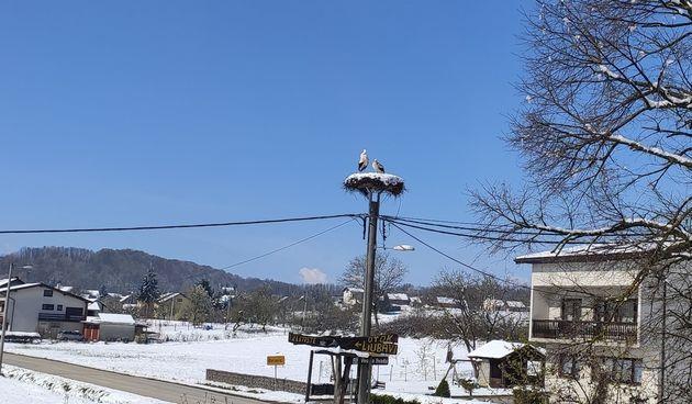 Par bijelih roda petu godinu zaredom vratio se u Belaviće - Za sada dobro podnose hladnoću i gnijezdo puno snijega