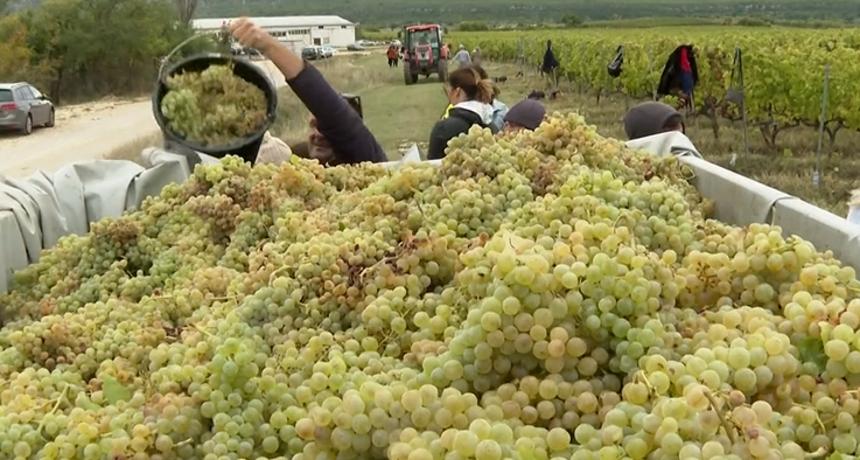 Masovna turistička berba grožđa već tradicionalno je privukla brojne znatiželjnike, ali danas se išlo i po vino s vlastitim imenom