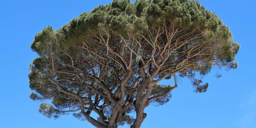 Stablo pinjola - crnogorično stablo jestivih sjemenki