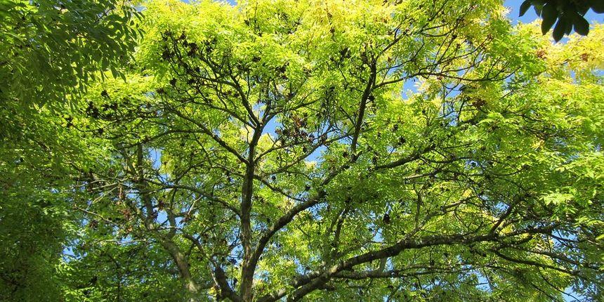 Jasen drvo - karakteristike drveta jasena