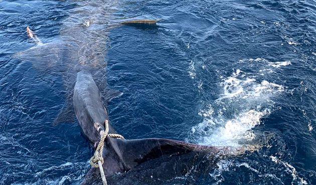 Zapetljao se u mreže: U Savudriji ulovljen morski pas od 8 metara!