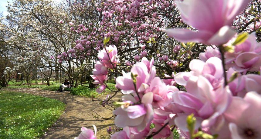 Očajni podaci: Hrast, magnolija i javor među 30 su vrsta drveća kojima prijeti izumiranje. A to nije najgore