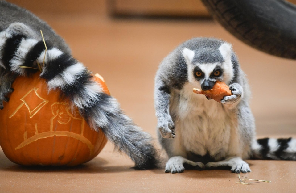 Tradicionalno darivanje izrezbarenih bundeva životinjama u Zoološkom vrtu