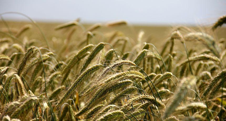 TEŠKA JESEN I ZIMA Ogroman skok cijena suncokreta, pšenice i kukuruza