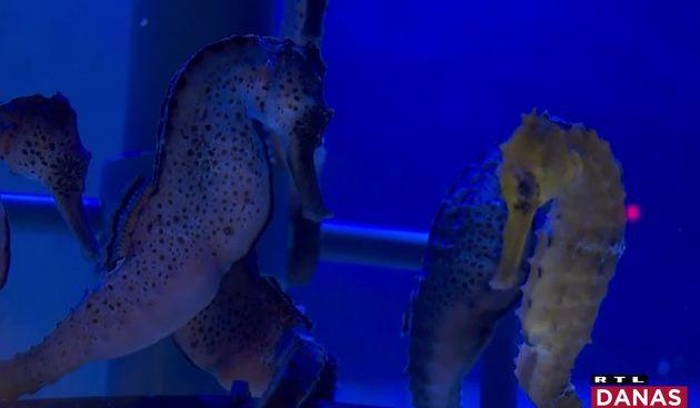Morski konjici