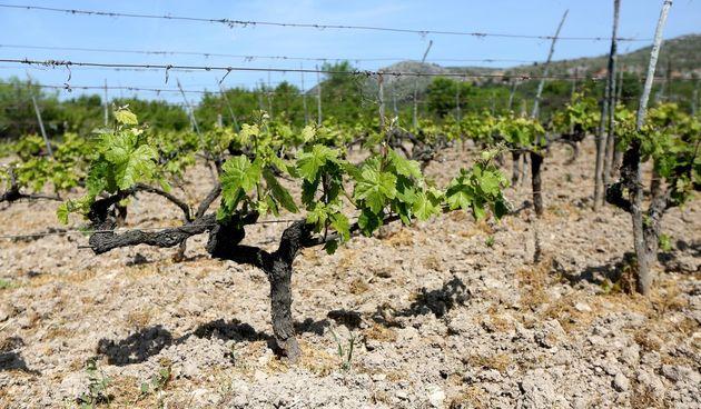 Vinograd, vinova loza