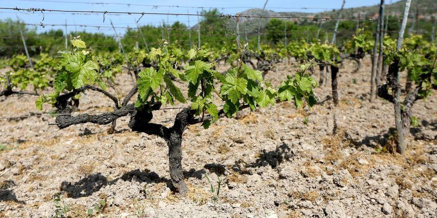 Upozorenje vinogradarima: Čuvajte polja od zlatne žutice