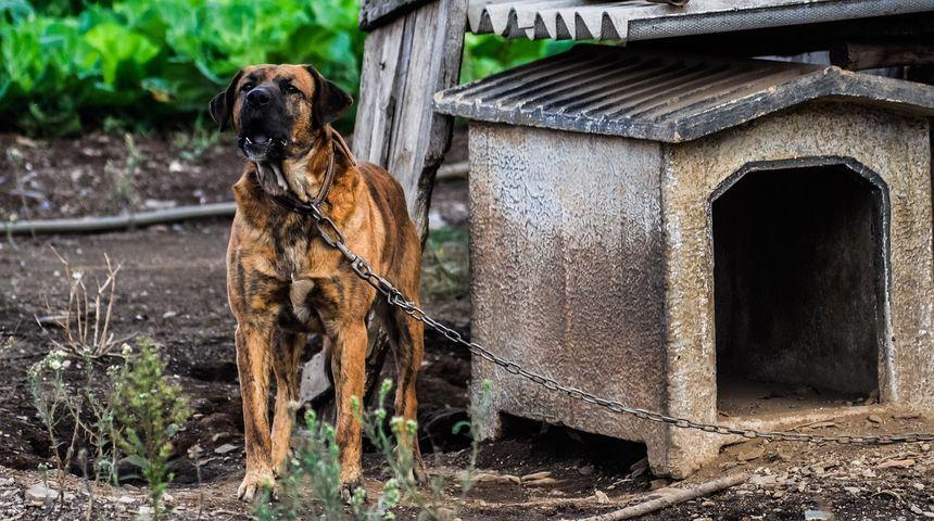 ZABRANIMO LANAC! Peticiju protiv držanja pasa na lancima potpisalo 50.000 građana